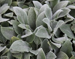 Stachys byzantina 'Silver Carpet' (lamb's ears)
