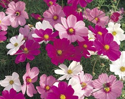 Cosmos 'Sonata Hot Pink Mixed' (40 plus 20 FREE large plug plants)