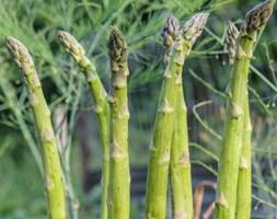 asparagus crowns Guelph Millennium F1 hybrid