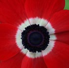 Anemone coronaria (De Caen Group) 'Hollandia'