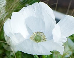 anemone bulbs ( syn The Bride )