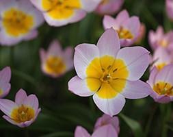 Tulipa saxatilis (Bakeri Group) 'Lilac Wonder' ((Bakeri Group) tulip Lilac Wonder bulbs)