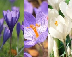 crocus speciosus collection bulbs