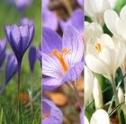 Crocus speciosus collection