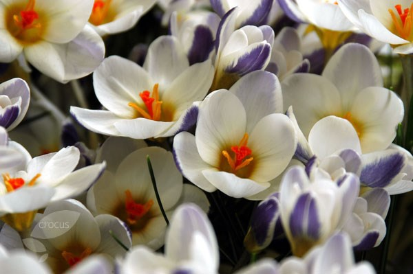 species crocus bulbs