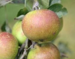 apple 'Cox's Orange Pippin' (apple)