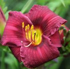 Hemerocallis Purple Rain