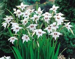 Abyssinian gladioli