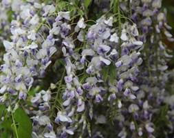 Wisteria floribunda 'Domino' (japanese wisteria syn ( Wisteria 'Issai ))