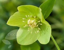 Helleborus x hybridus 'Harvington Lime' (Lenten rose hellebore)