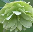 Helleborus × hybridus Harvington double lime-green