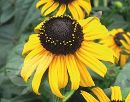 Rudbeckia fulgida 'Early Bird Gold' (PBR) (black-eyed Susan)