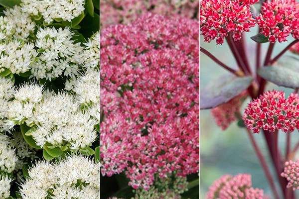 Three late-summer sedums chosen by plant buyer John Hiorns