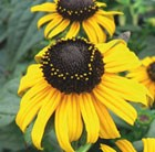 Rudbeckia fulgida Early Bird Gold (PBR)