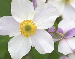 Anemone 'Wild Swan' (anemone)