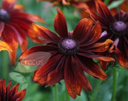 Rudbeckia hirta 'Autumn Colours'
