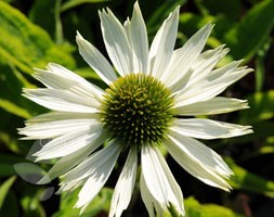 Echinacea purpurea 'Virgin' (PBR) (coneflower)