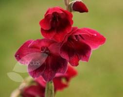Gladiolus papilio 'Ruby' (gladioli)