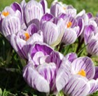 Crocus × cultorum Pickwick