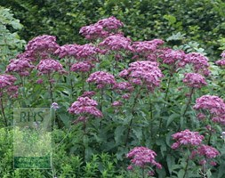 Eupatorium maculatum (Atropurpureum Group) 'Purple Bush' (Joe pye weed)