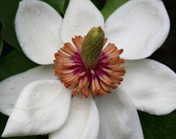 Magnolia x wieseneri (magnolia)