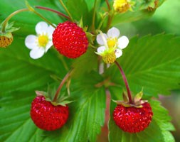 Fragaria vesca (alpine strawberry - woodland)