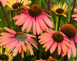 Echinacea 'Summer Cocktail' (PBR) (coneflower)