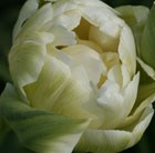 Tulipa Double Maureen