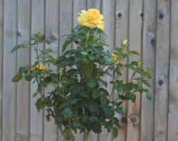 Rosa Golden Wedding ('Arokris') (PBR) (standard rose Golden Wedding)