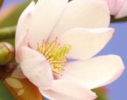 Magnolia Fairy Blush ('Micjur01') (PBR) (fairy magnolia)