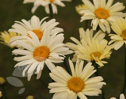Leucanthemum x superbum andapos;Banana Creamandapos; (shasta daisy)
