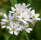 Allium neapolitanum Cowanii Group
