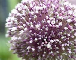 Allium 'Early Emperor' (ornamental onion bulbs)