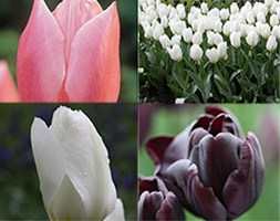tulip collection bulbs