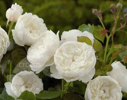 Rosa William and Catherine ('Ausrapper') (PBR) (rose William & Catherine (hybrid musk))