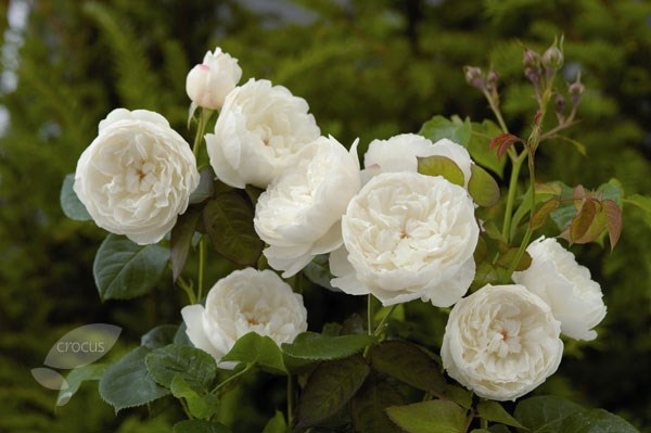 rose William & Catherine (hybrid musk)