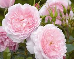 Rosa Lady Salisbury ('Auscezed')  (PBR) (rose Lady Salisbury (shrub))