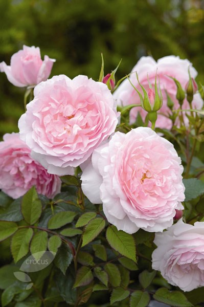 rose Lady Salisbury (shrub)