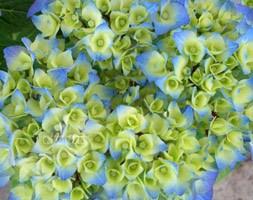 Hydrangea macrophylla 'Zaza' (Black Steel Series) (black steel hydrangea)