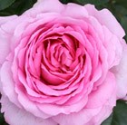 Rosa Mum in a Million = 'Poulren013'  (PBR)