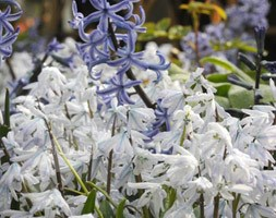 squill bulbs