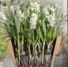 Bulbs for pots - Cool whites