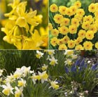 Award-winning, scented miniature daffodils