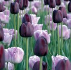 Tulipa Shirley & Tulipa Queen of Night