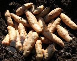 potato 'Anya' (second early seed potato)