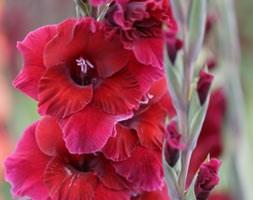 Gladiolus 'Plum Tart' (gladioli bulbs)