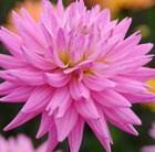 Dahlia 'Karma Pink Corona' (PBR)