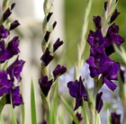 Gladiolus Purple Mate
