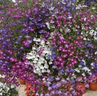 Lobelia 'Fountain Mixed' (42 large plug plants)