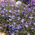 Lobelia 'Royal Blue' (42 large plug plants)